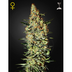 Neville's Haze | Feminised, Indoor & Outdoor
