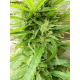 Canebra | Auto, Indoor & Outdoor