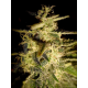 Helvetic Cheese | Feminised, Indoor & Outdoor