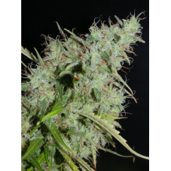 NLX | Feminised, Auto, Indoor & Outdoor