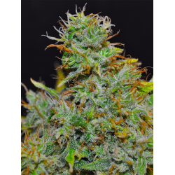 SuperBerry | Feminised, Indoor & Outdoor