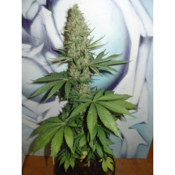 Big Bud | Feminised, Indoor & Outdoor