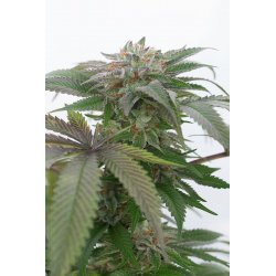 Bubba Kush 2.0 | Feminised, Indoor & Outdoor
