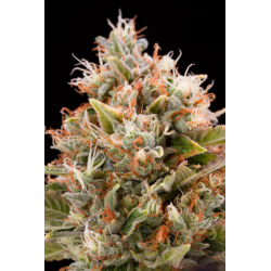 Chemdawg | Feminised, Indoor & Outdoor