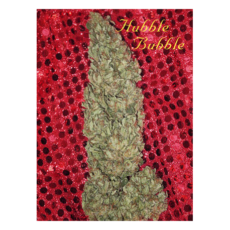 Hubble Bubble | Feminised, Indoor & Outdoor