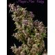 Purple Paro Valley | Feminised, Indoor & Outdoor