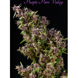 Purple Paro Valley | Feminised, Indoor & Outdoor