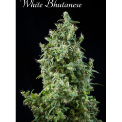 White Bhutanese | Feminised, Indoor & Outdoor