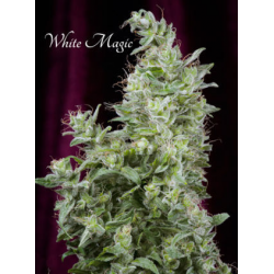 White Magic | Feminised, Indoor & Outdoor