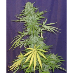 Cinderella 99 BX1 | Indoor & Outdoor