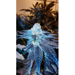 Viper Cookies | Feminised, Indoor & Outdoor