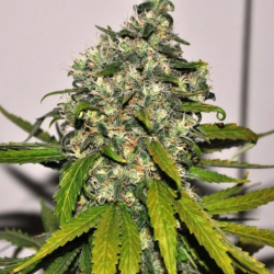 AK-48 | Feminised, Auto, Indoor & Outdoor