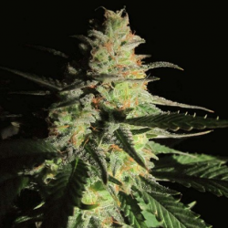 Aurora Indica | Feminised, Indoor & Outdoor