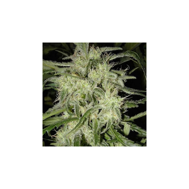 Lemon og haze feminised auto indoor outdoor for Autofloraison interieur
