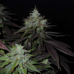 Swiss Cheese | Feminised, Indoor & Outdoor