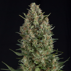 Auto Wembley | Feminised, Auto, Indoor & Outdoor
