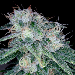 Sour Diesel | Feminised, Indoor & Outdoor
