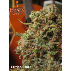 Critical Haze | Feminised, Indoor & Outdoor
