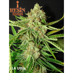 L.A. Ultra | Feminised, Indoor & Outdoor