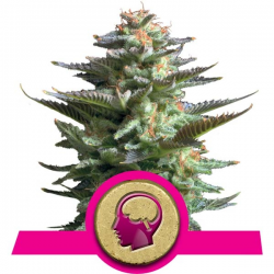 Amnesia Haze | Feminised, Indoor & Outdoor