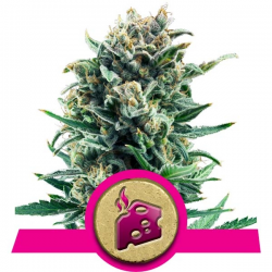 Blue Cheese | Feminised, Indoor & Outdoor