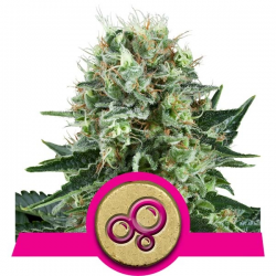 Bubble Kush | Feminised, Indoor & Outdoor