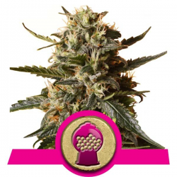 Bubblegum XL | Feminised, Indoor & Outdoor