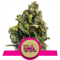 Candy Kush Express - Fast Version | Feminised, Indoor & Outdoor