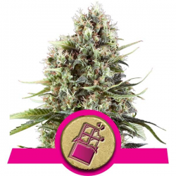 Chocolate Haze | Feminised, Indoor & Outdoor