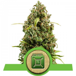 Diesel Automatic | Feminised, Auto, Indoor & Outdoor