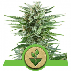 Easy Bud | Feminised, Auto, Indoor & Outdoor
