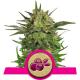 Haze Berry   Feminised, Indoor & Outdoor