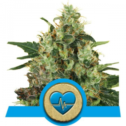 Medical Mass | Feminised, Indoor & Outdoor