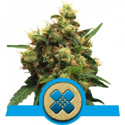 Painkiller XL | Feminised, Indoor & Outdoor