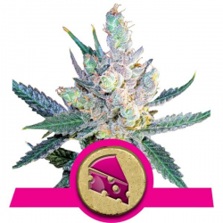 Royal Cheese - Fast Version | Feminised, Indoor & Outdoor
