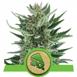 Royal Cheese Automatic | Feminised, Auto, Indoor & Outdoor