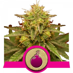 Royal Domina | Feminised, Indoor & Outdoor