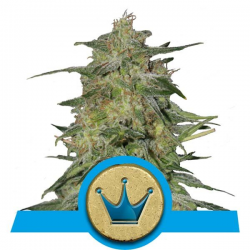 Royal Highness | Feminised, Indoor & Outdoor