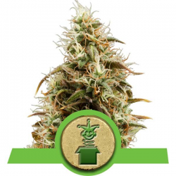 Royal Jack Automatic | Feminised, Auto, Indoor & Outdoor