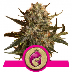 Mother Gorilla aka Royal Madre | Feminised, Indoor & Outdoor