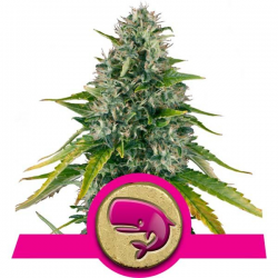 Royal Moby | Feminised, Indoor & Outdoor