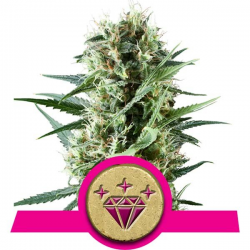 Special Kush 1 | Feminised, Indoor & Outdoor