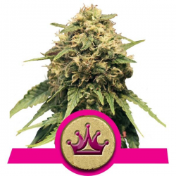 Special Queen 1 | Feminised, Indoor & Outdoor