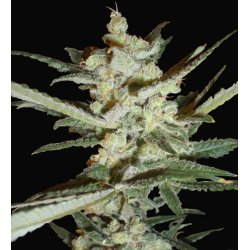 Supersonic Cristal Storm | Feminised, Auto, Indoor & Outdoor