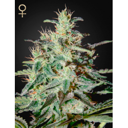 White Lemon | Feminised, Indoor & Outdoor