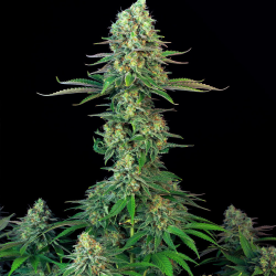 Bubblegum | Feminised, Indoor & Outdoor