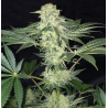 LA S.A.G.E. CBD | Feminised, Indoor