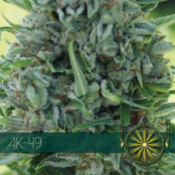 AK-49 | Feminised, Indoor & Outdoor