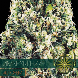 Amnesia Haze | Feminised, Auto, Indoor & Outdoor