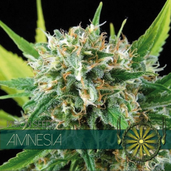 Amnesia | Feminised, Indoor & Outdoor